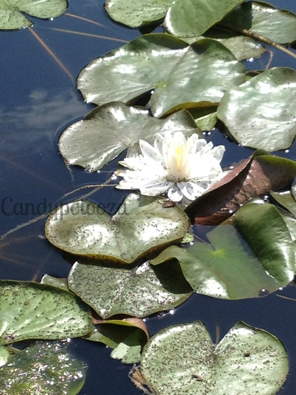 2 WW Water Lilly Collection